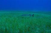 great barracuda swims in eel grass, Caribbean Sea, Belize