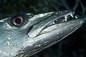 great barracuda, Caribbean Sea, Tobago