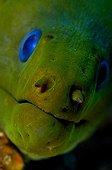 green moray eel, Caribbean Sea, Cayman Islands