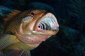 Coney with parasitic cymothoid isopod, Caribbean Sea, Cayman Islands