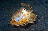 Coconut Octopus, Lembeh Strait Sulawesi Celebes, Indonesia