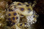 blue ring octopus with Eggs, Lembeh Strait Sulawesi Celebes, Indonesia