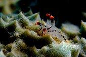 nudibranch slug, Lembeh Strait Sulawesi Celebes, Indonesia