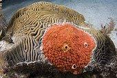 Red Boring Sponge, Caribbean Sea, U.S. Virgin Islands