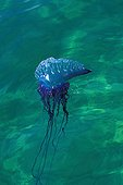 Portuguese Man Of War Jellyfish