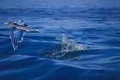 Flying fish, Caribbean Sea