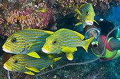 Yellow-Ribbon Sweetlips and Diver, Komodo, Lesser Sunda Islands, Flores Sea, Indonesia
