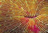 Detail of Mushroom Coral, Caroline Islands, Pacific, Kosrae, Micronesia