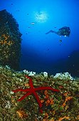 scuba diver on wall with seastar, Balearic Islands Mediterranean Sea, Spain