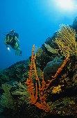 scuba diver with colorful rocky reef, Adriatic sea Mediterranean sea, Croatia
