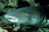Tawny nurse shark, Indian Ocean, Maldives