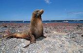 Galapagos Sea Lion, Galapagos Pacific Ocean, Ecuador