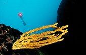 scuba diver on steep wall with orange sponge, Isola de Tremiti islands Adriatic Sea Mediterranean Sea, Italy