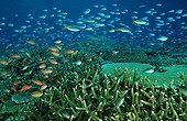 coral reef with hard corals and fish, Komodo Island Indian Ocean, Indonesia
