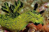 neon slug, Komodo Island Indian Ocean, Indonesia