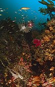 scuba diver with soft corals lionfish and kelp, Jeju, South-Korea