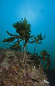 reef with seaweed, Jeju, South-Korea