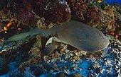 Tawny nurse shark, Indian Ocean, Seychelles