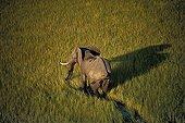 African elephant walking in swamps Botswana