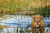 Lion across the Khwai river to swim Moremi Botswana