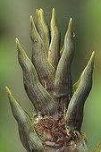 Shoot of black bamboo 'Henonis'