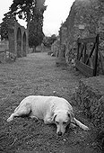 White Dog lying in an ancient alley in Pompeii Italy