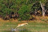 Blac-faced Impala jumping Okavango Delta Botswana