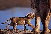 Cub walking and watching her mother Tanzania