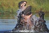 Hippopotamuses males fighting in the water Okavango Botswana