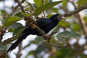 Asian Koel on branch Bardia National Park Nepal