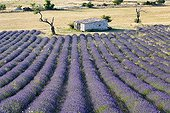 Fields of Lavender and a sheep barn in the region of Sault
