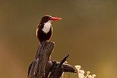 Smyrna Kingfisher Kanha National Park India