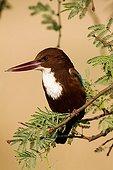 Smyrna Kingfisher on a branch Keoladeo Ghana India