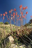 Aloes in bloom on the Sentiers botaniques de Fontcaude