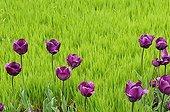 Tulipes et Blé dans une plate-bande de jardin France ; Le blé est fauché puis enfouit et utilisé comme engrais vert