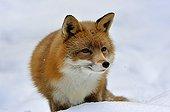Red Fox in snow Hälsingland province Sweden