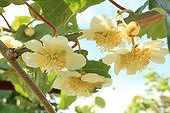 Flower of Kiwi in an orchard at Saint-Paulet-de-Caisson