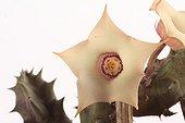 Flower of Huernia quinta