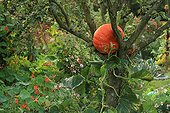 Winter squash in The Garden of Marie-Ange in Croisette ; Pear tree 'Conférence'