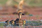 Gadwall female and chicks Kerkini lake Greece