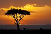 Sun setting behind umbrella acacia tree MMNR Kenya
