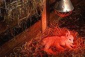 New born abnormal lamb with 6 paws Belgium