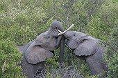 Elephant play fighting Masai Mara North Reserve Kenya