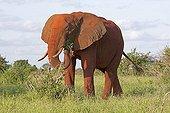 Single elephant Tsavo East National Park Kenya
