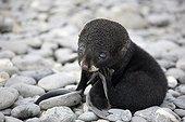 Antarctic Fur Seal on Salisbury Plain in South Georgia