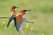 European Bee-eaters on a branch Kerkini lake Greece