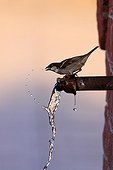 House Sparrow drinking to a fontain Kerkini Lake Greece