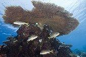 Diagonal-banded Sweetlips under Table Coral Palau