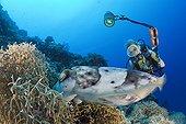 Diver watch Broadclub Cuttlefish laying eggs Palau