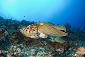 Broadclub Cuttlefish Palau Micronesia